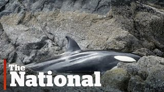 Stranded orca saved by volunteers