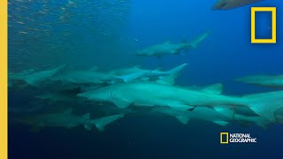 Why Do Sand Tiger Sharks Form Gangs? | Shark Gangs thumbnail