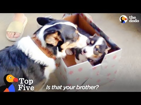 Corgi Meets His New Little Brother + Animal Meeting for the First Time | The Dodo Top 5