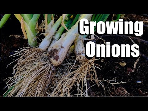 , title : '3 Tips for Growing Onions & How to Start Onion Seeds Inside and Outside