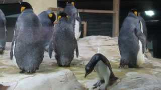 preview picture of video 'DANSING PENGUINS'