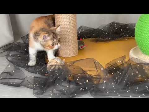 exotic shorthair cucciole femmine   video 2