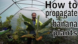 How to propagate banana plants. Super easy!