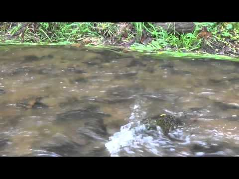 trout mates on a small river