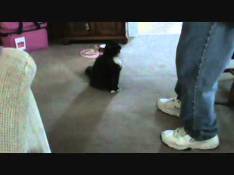 My cat Zowie doing dog tricks