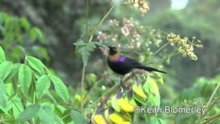 Tacazze Sunbird video A bird feeding on flowers then flying away   the Internet Bird Collection