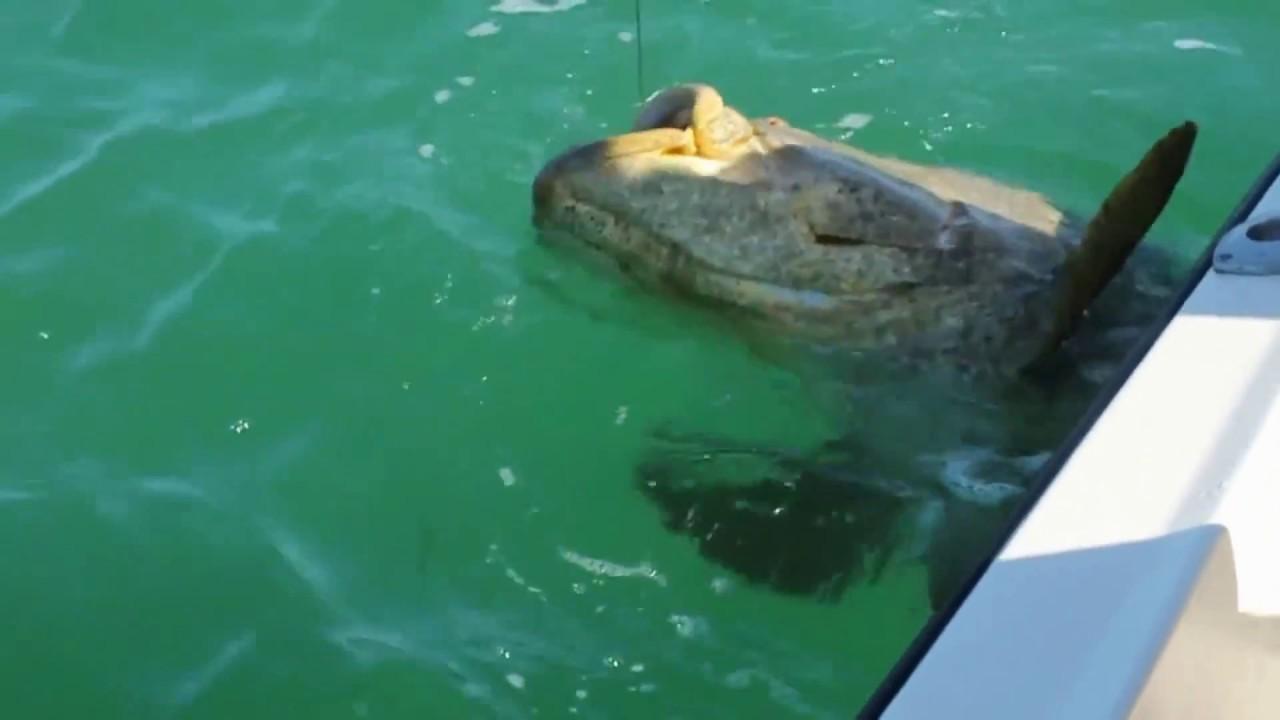 250 кг гигант - морской окунь монстр