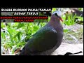 Download Lagu Suara pikat burung punai tanah mp3 panggil manten Mp3 Free