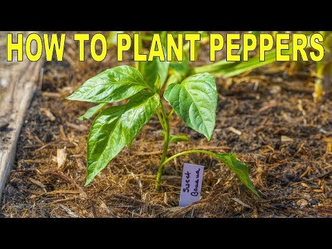 , title : 'How To Plant Peppers | Complete Guide to Transplanting and Fertilizing