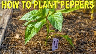 How To Plant Peppers | Complete Guide to Transplanting and Fertilizing