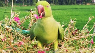 Parrot eating the flowers फूल खाता हुआ तोता