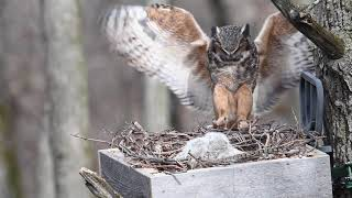 Great Horned Owl Nest Cam 1