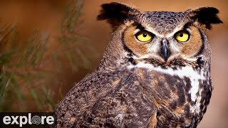 Great Horned Owl at Roger's Place powered by EXPLORE.org