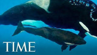 Kyara, The Last Killer Whale Born In Captivity At SeaWorld, Dies At 3 Months Old | TIME