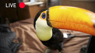 My Toco Toucan Rocko! | My First LIVE Video