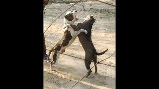 indian pitbull dogs fight - मुफ्त ऑनलाइन