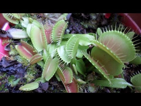 Video How to grow Venus Flytrap plants from seed - Dionaea muscipula