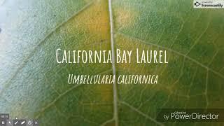 California Bay Laurel -  Umbellularia californica : UCSC Plants and Soceity BIOE 118