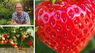 Growing Strawberries: How to Grow the Best Tasting Strawberries