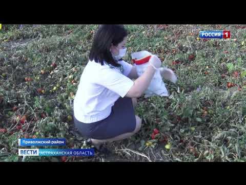 Специалисты Управления Россельхознадзора провели  обследование плодов томата на территории Астраханской области