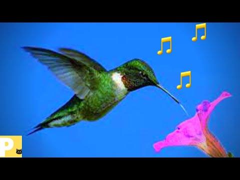 beija flor#Somparaatrairbeijaflor#cantodobeijaflor#beijaflorcantando#somdepssaros#aves#Q98e#sound
