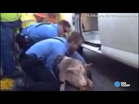 Watch: 250-lb Pig Falls Out Of Trailer, Resists Rescue