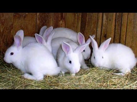 Video Cara beternak kelinci yang benar dan bersih