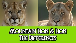 Lion & Mountain Lion   The Differences