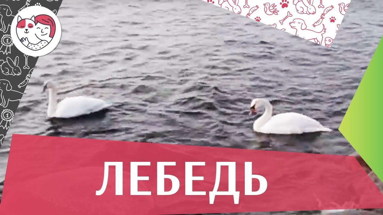 Лебеди на ilikepet