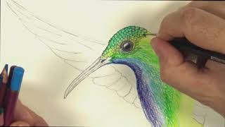 How To Draw A Hummingbird With Colour Pencils