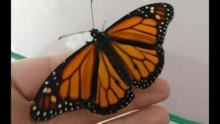 """Cotton fioc, colla e stuzzicadenti: """"Così ho salvato la farfalla monarca con l'ala spezzata"""""""
