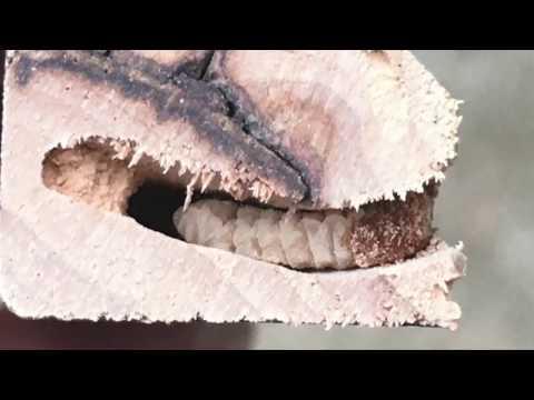 Bulate ay may angelfish