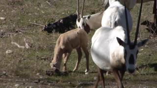 Fun Fact Friday: Arabian Oryx