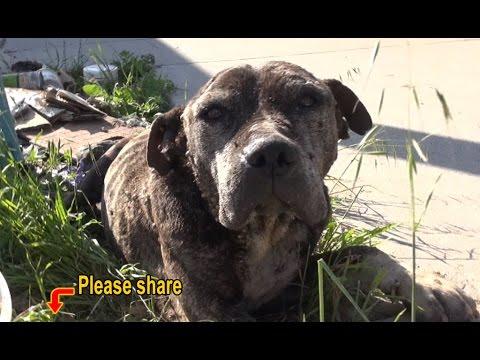 Pitbull fica abandonada em uma ponte e deixado para morrer.......Mesmo com toda ajuda possível...ele Morreu.....