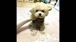 Toy Poodle Puppies Videos