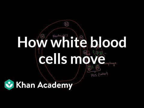 How white blood cells move around (video) | Khan Academy