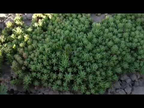 Никогда не высаживайте это растение у себя в цветнике!!!