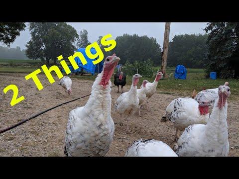 , title : 'TURKEYS - 2 Things To Consider Before Raising Turkeys!