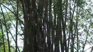 preview picture of video 'Natural Bamboo Plants - Svay Rieng, Cambodia'