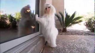 Dog Breeds 101 Video: Maltese