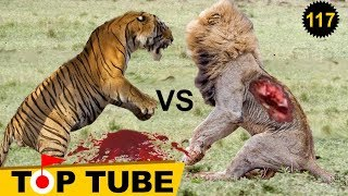 Tiger vs lion who wins | lion vs tiger fight
