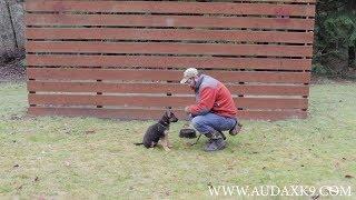 Amadeus vom Haus Audax Puppy Bite Work