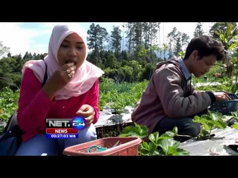 Video Wisata petik langsung buah strawberry di kaki Gn. Slamet - NET24