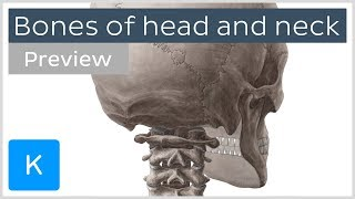 Bones of the head and neck: skull and cervical spine (preview) - Human Anatomy | Kenhub