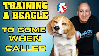 How to train a beagle to come all the time without treats