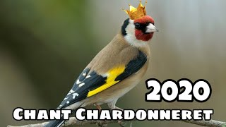 Goldfinch singing best training 2020 - Chant Chardonneret