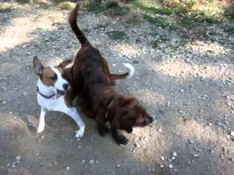 Meet Kobe a Beagle currently available for adoption at Petango.com! 10/12/2011 12:23:50 AM