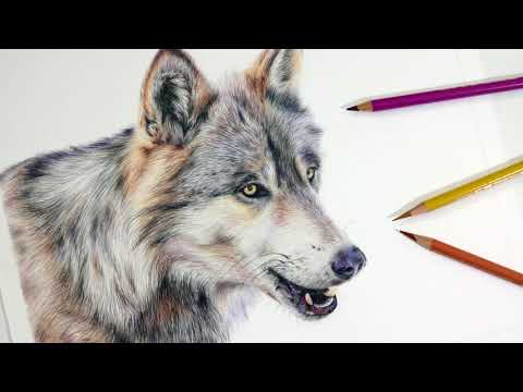 realistic animal color pencil drawing wolf by amie howard art