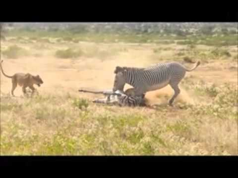 Lion Kill video shortened version letöltés