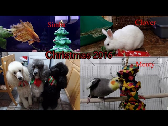 Christmas with my Pets 2016 / Bird Room/Betta/Rabbits/Standard Poodles